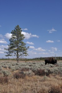 Tree and Bison, Yellowstone National Park